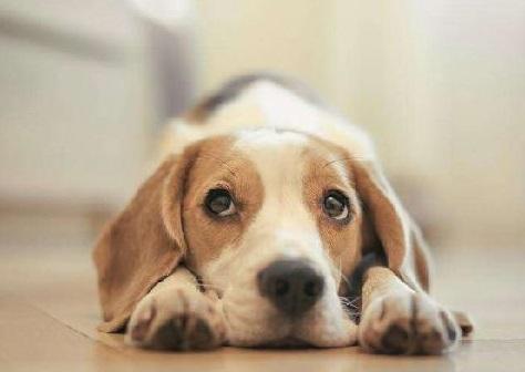 购买米格鲁犬注意事项 购买比格犬须知